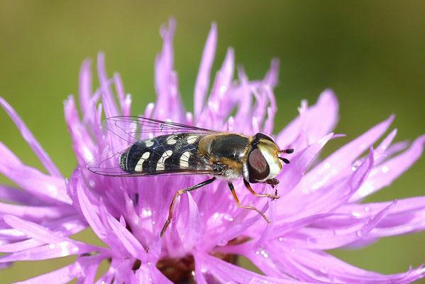 Späte Großstirnschwebfliege (Scaeva pyrastri) auf Wiesen-Flockenblume