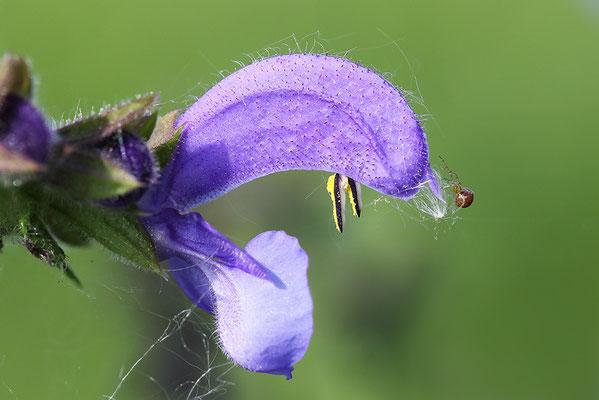 Blüte der Wiesensalbei (Salvia pratensis)