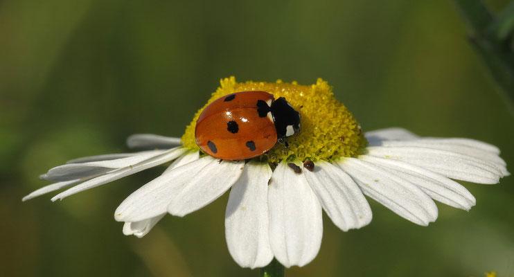 Der Siebenpunkt-Marienkäfer ist wohl der einzige Käfer, der in der Bevölkerung eine Bekanntheit von 100 % erreicht. Er ist ein Glückssymbol und (Spitz-)Namengeber für einen Autotyp.