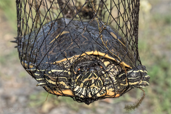 Endlich konnte die zweite Schildkröte gekäschert werden. Foto: Regine Schulz