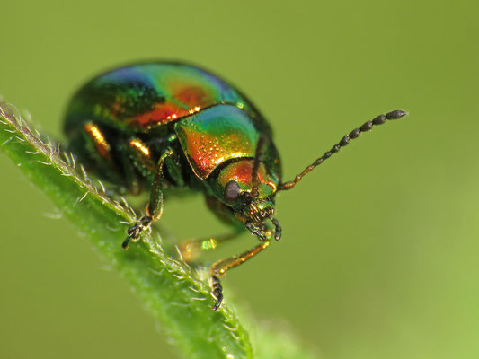 Der Ovaläugige Blattkäfer gehört zu den häufigen Blattkäfern und findet sich z. B. sehr oft an Taubnesseln.