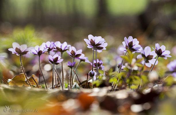 Leberblümchen im Gegenlicht