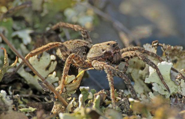 Berg-Pantherspinne (Alopecosa inquilina)
