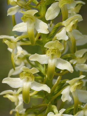 Grünliche Waldhyazinthe (Platanthera chlorantha) Foto: Rolf Nimser