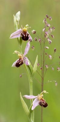 Bienen-Ragwurz (Ophrys apifera) Foto: Regine Schulz