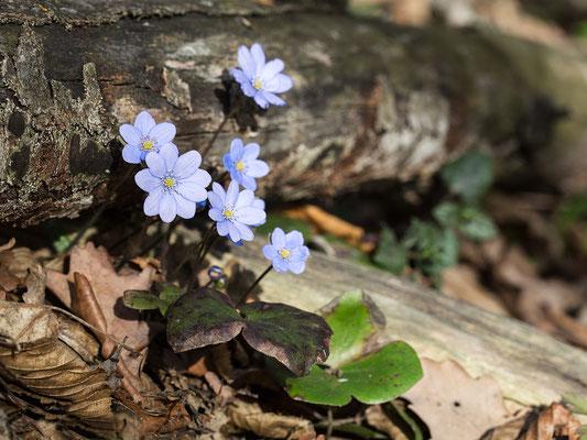 Leberblümchen mit Blättern des Vorjahres