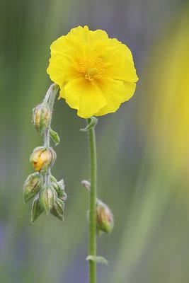 Gelbe Sonnenröschen (Helianthemum nummularium), auch Gewöhnliches Sonnenröschen