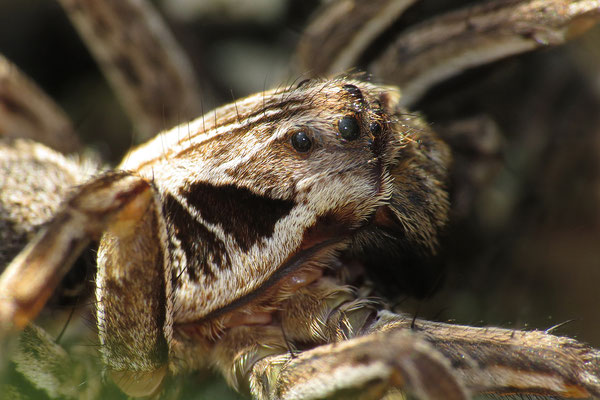 Streifbeinigen Tarantel (Alopecosa striatipes)