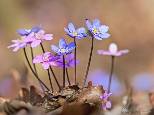 Leberblümchen Blüten rote und blaue Variante