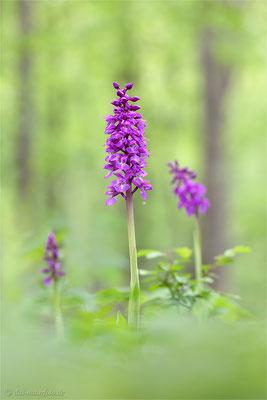 Das Manns-Knabenkraut oder auch Stattliches Knabenkraut (Orchis mascula) ist eigentlich eine Waldorchidee, kommt aber auch auf freien windgeschützten Flächen vor.