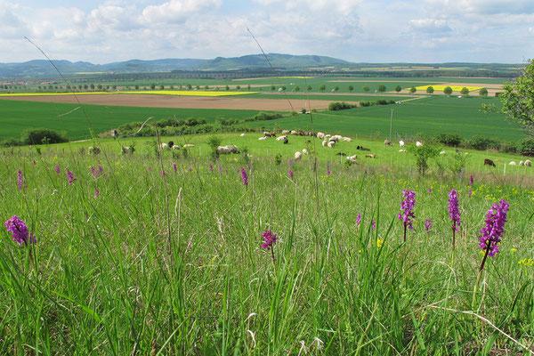 Der Hirschberg bei Heißum wird von Schafen gepflegt.
