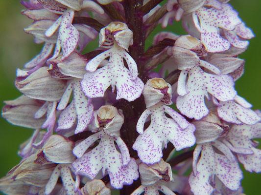 Purpur-Knabenkraut (Orchis purpurea) Foto: Rolf Nimser