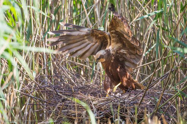 Rohrweihe am Nest