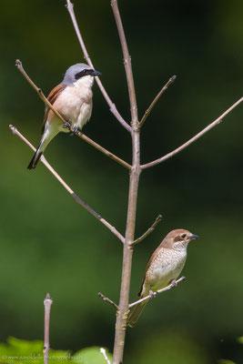 Neuntöter Männchen und Weibchen