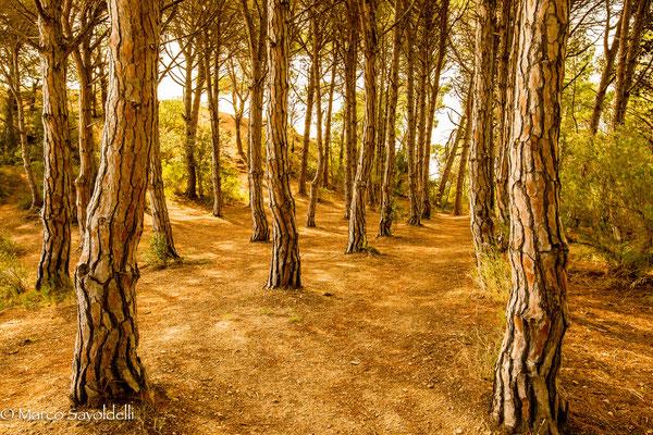 Pinienwald Costa Brava