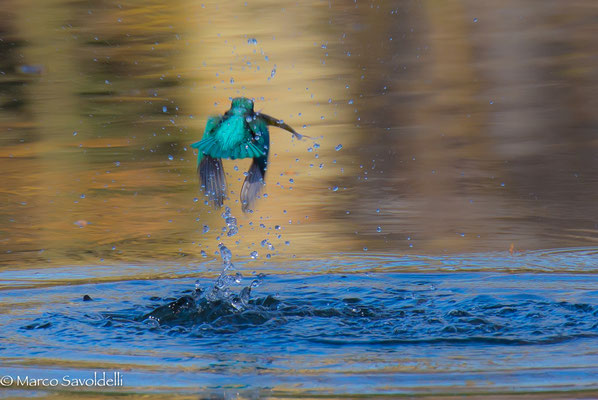 Blitzschnell taucht er ein, schnappt sich den Fisch und fliegt zum Ansitz
