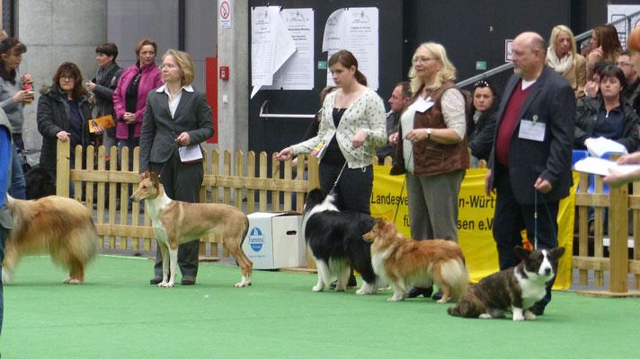 FCI-Gruppen Wettbewerb, Becky zwischen etwa 40 Hüte- und Schäferhunden