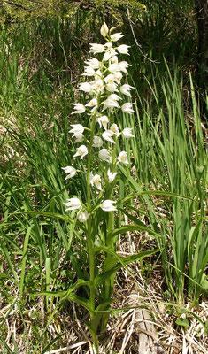 Cephalanthera longifolia, schwertblättriges Waldvögelein