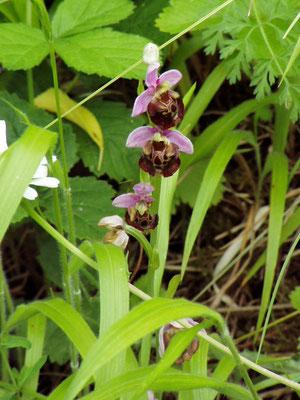 Ophrys apifera, Bienen Ragwurz Foto: Thomas Burckard