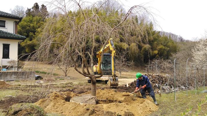 樹木の移植