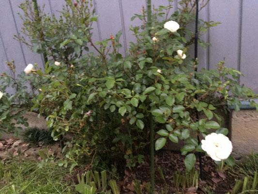 植えっぱなしのバラに蜂が巣を作っていた。まだ2cm位で作り始めたばかりの感じ。草を取るのに木を揺らしたりして蜂にとっては「うるさい」状況が続いたと思うのだけど全く攻撃もしてこなくて巣作りに専念。敬服。