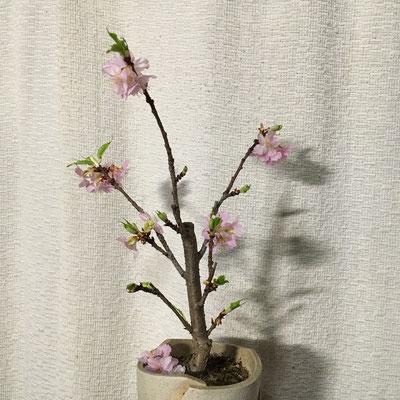 2日 鉢植えの河津桜満開。開花から1週間。26輪で少ない。昨年は開花から9日で48輪もあり見事だった。