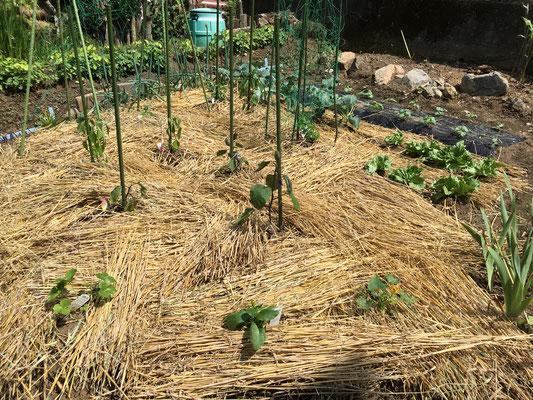 草予防に敷いた麦わら。沢山出ていた「紫蘇」も出てこられるのは何分の一か。泥はね予防にも。
