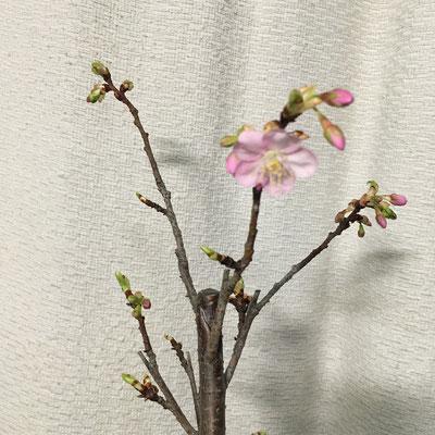23日 鉢植えの河津桜が開花。
