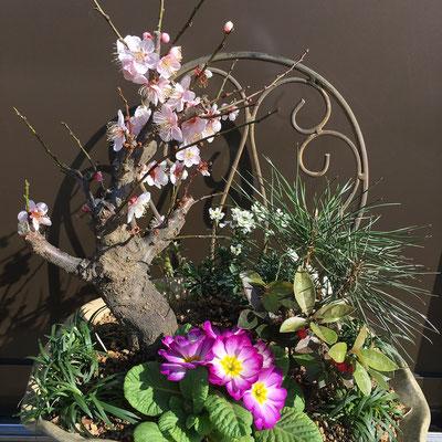 お正月の松竹梅の寄せ植え。21日から咲き始めた梅も満開に近い。