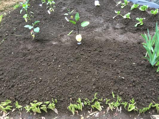 少しスペースができた。「つるむらさき」と「ズッキーニ」を植えよう