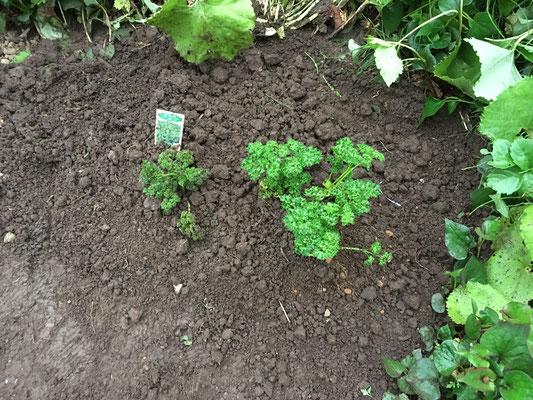 左側のパセリは昨年植えたのでトウが立ち始めている