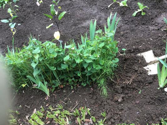 草取りしながら、水仙と家庭菜園の間に植えてある「ジャーマンアイリス」を移動して菜園を少し広げる