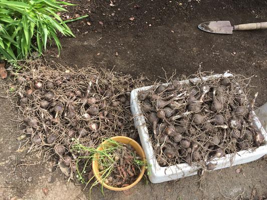 こんなに沢山の球根が埋まっていた