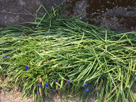 4月8日、ムスカリに覆いかぶさる彼岸花の葉