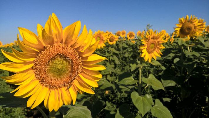 Der Weg führte vorbei an Sonnenblumen...
