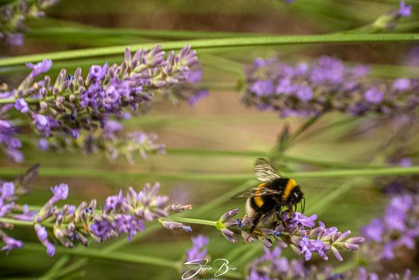 """28.06.""""Lavendel auf dem Vormarsch""""!"""