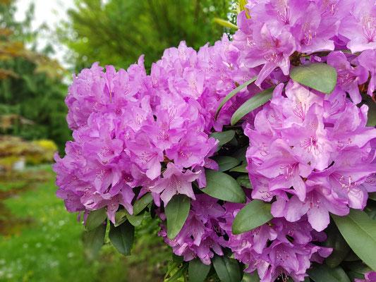 15.05...NR-Catawba-Rhododendron