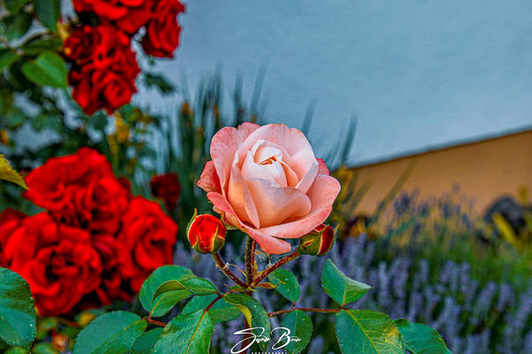 "01.06.""Rose in der Rosenzeit""!"