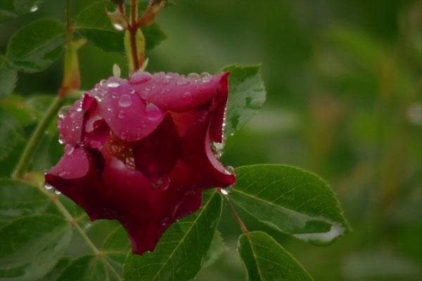 10.05...NR-Hiawatha Rose