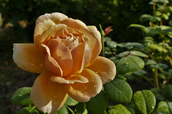 26.08...NR-Die Königin des Gartens