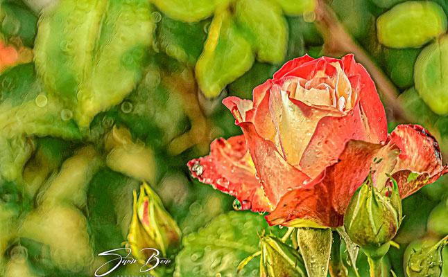 """27.05... """"Rose und Regen""""!"""