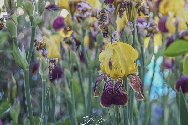 "23.05... ""Schwertlilien-Bart-Iris (Iris barbata-elatior) ""!"