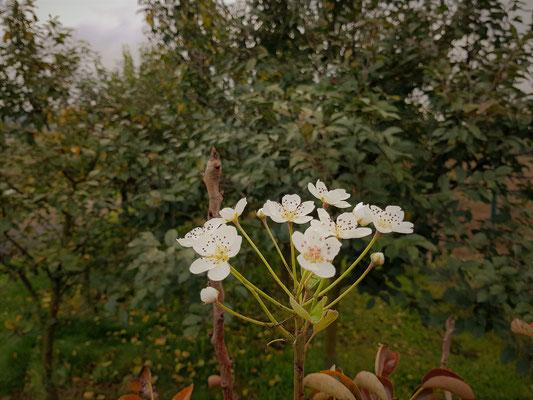 29.09...NR-Kirschenblüte