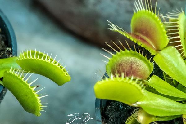 """27.10.""""...Die Venusfliegenfalle (Dionaea muscipula) """"!"""