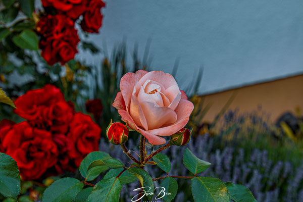 "31.05... ""Rose in der Rosenzeit""!"