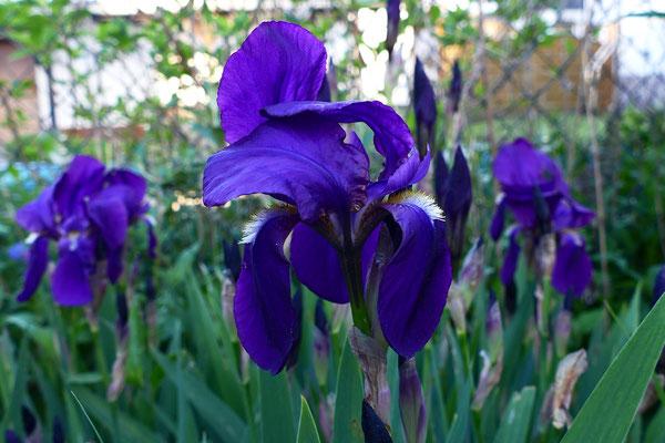 06.05...NR-Grüß vom Iris