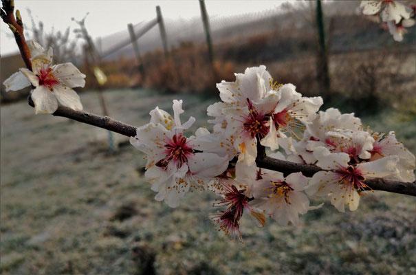 21.03...Blüten in Frost