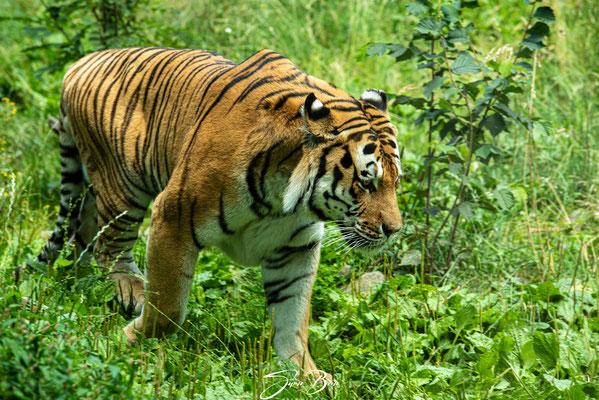 """28.07."""" 29. Juli ist der Internationale Tag der Tigers-Tiger Ivo Zoo Neuwied""""!"""