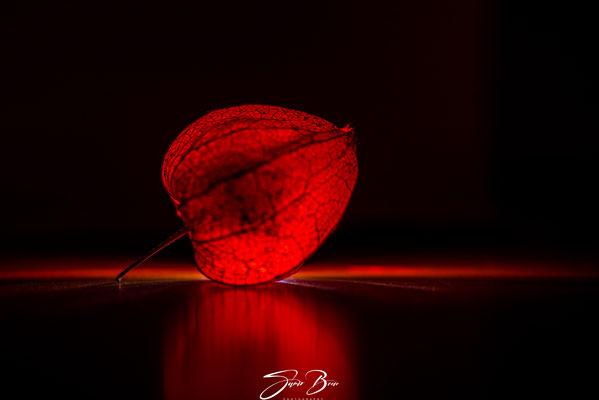 "09.12.""...leuchtende Lampionblume (Physalis alkekengi) ""!"