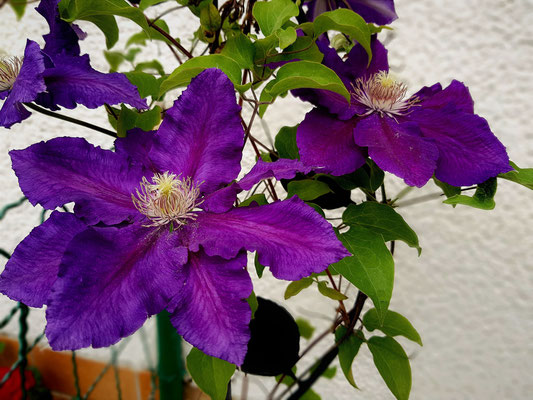 16.05...NR-Clematis